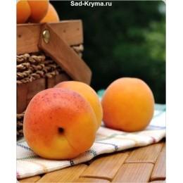 Саженцы абрикоса Лучистый