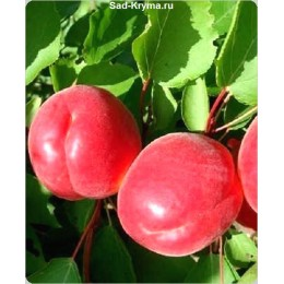 Саженцы абрикоса Ред Тардив