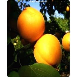 Саженцы абрикоса Сан Дроп