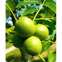 Саженцы грецкого ореха Мустанг