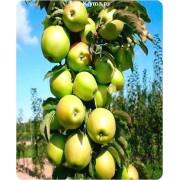 Саженцы яблони колоновидной