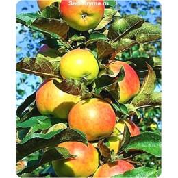 Саженцы яблони колоновидной Останкино