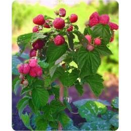 Саженцы малинового дерева Краса