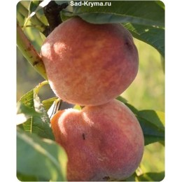 Саженцы персика Рубин Принц