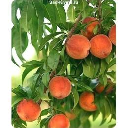 Саженцы персика Славутич