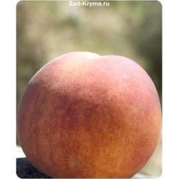 Саженцы персика Вулкан