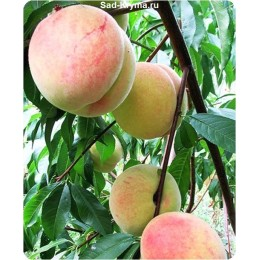 Саженцы персика Харбинжер