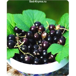 Саженцы черной смородины Белорусская сладкая