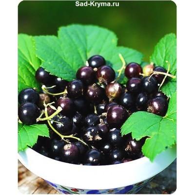 Белорусская сладкая > фото и описание саженца