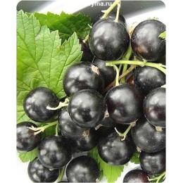 Саженцы черной смородины чёрная Тритон