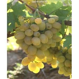 Саженцы винограда Аксинья