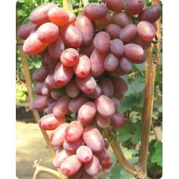 Саженцы винограда Андрюша