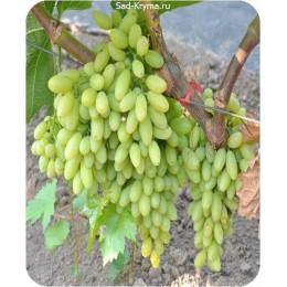 Саженцы винограда К-ш 6-4