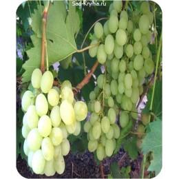 Саженцы винограда Ванюша